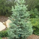 Brad alb (Abies concolor)
