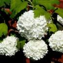 Călin Roseum (Viburnum opulus Roseum)