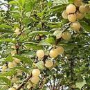 Cireș nanking Snovit (Prunus tomentosa Snovit)
