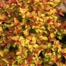 Cununiță Goldflame (Spiraea japonica)