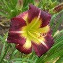 Hemerocallis Night Beacon