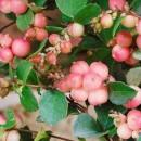 Hurmuz roz (Symphoricarpos × doorenbosii )