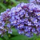 Liliac de vară Dart's Papillon Bleu (Buddleja davidii)