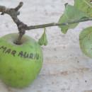 Măr Auriu de Rengheț