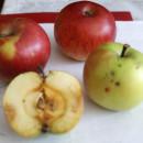 Măr de iarnă Ovidiu