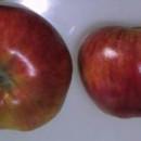 Măr Kolacara