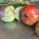 Măr toamnă parfumat Șoimuș