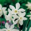 Narcisa Thalia (set 3 buc.)
