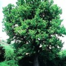 Tei cu frunza mare (Tilia platyphyllos)