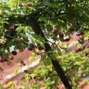 Viță de ciocolată (Akebia quinata)