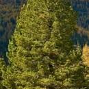 Zâmbru (Pinus cembra)