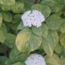 Călin Aureovariegata (viburnum lantana)