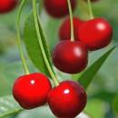 Cireș Carmine Jewel (Prunus Carmine Jewel)