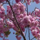 Cireș japonez Pink Perfection