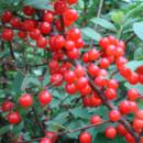 Cireș Nanking (Prunus tomentosa) specia Red Ninja