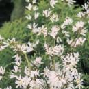 Forsiția albă (Abeliophyllum distichum)