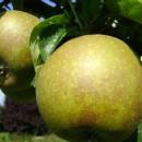 Măr Frumos de Boskoop