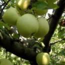 Măr Olive Yellow