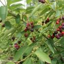 Merişor de miere (Amelanchier lamarcki)