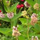 Asclepias syriaca (Floarea fluturilor, Floarea de papagal)