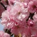Cireș japonez Kanzan (Prunus serrulata Kanzan)
