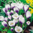 CROCUS PRINS CLAUS  (set 5 buc.)