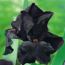 IRIS GERMANICA BLACK NIGHT