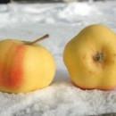 Măr Apistar