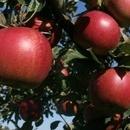 Măr Jonathan