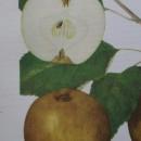 Măr Renet cenușiu (Cormoș cenușiu)