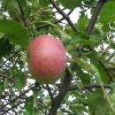 Măr Şovari nobil