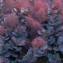 Scumpie Royal Purple (Cotinus coggygria)