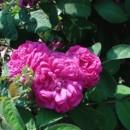 Trandafir de dulceață (diverse soiuri)