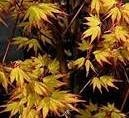 Arțar japonez Orange Dream (Acer palmatum Orange Dream)