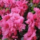 Azalee japoneză (rododendron) Rokoko