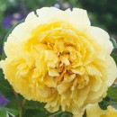 Bujor Yellow Crown