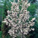 Cireș japonez Amanogawa (Prunus serrulata Amanogawa)