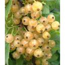 Coacăz alb Blanka (Ribes niveum Blanka)