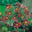 Floarea paștelui roșie (Pulsatilla)