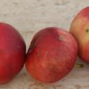 Măr Astrahan roșu