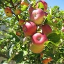 Măr Parmen auriu