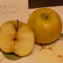 Măr Pătul dungat