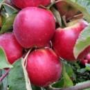 Măr Productiv de Cluj