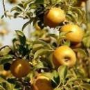 Măr Queen Renet (Renet galben)