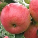 Măr Rebella