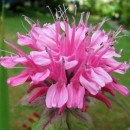Monarda Pink Lace