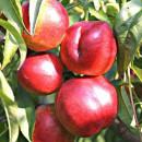 Nectarin Red-Glory