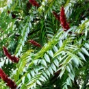 Oțetar roșu (Rhus typina)