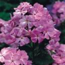 Phlox roz