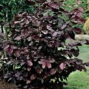 Alun roșu Syrena (Corylus avellana Syrena)